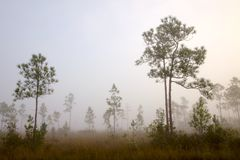 Early morning fog Pine Land Royalty Free Stock Photo