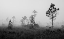Early morning fog on Pine Land in B/W Stock Photo