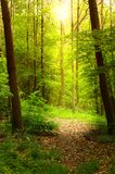 Early morning forest Royalty Free Stock Photo