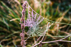 Early morning in the forest. The cobweb is covered with frost. B. Elarus, Naliboki forest Stock Image