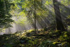 Early morning in the forest, mist and sunbeams shine beautifully through the trees,. Beautiful bright sunbeams make their way through the morning mist in fantasy royalty free stock photography