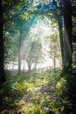 Early morning in the forest, mist and sunbeams shine beautifully through the trees,. Beautiful bright sunbeams make their way through the morning mist in fantasy stock photos