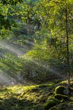Early morning in the forest, mist and sunbeams shine beautifully through the trees,. Beautiful bright sunbeams make their way through the morning mist in fantasy royalty free stock photo