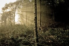 Early morning in the forest, mist and sunbeams shine beautifully through the trees,. Beautiful bright sunbeams make their way through the morning mist in fantasy stock photography