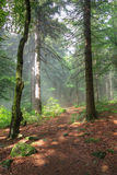 Early morning in the forest Royalty Free Stock Photography