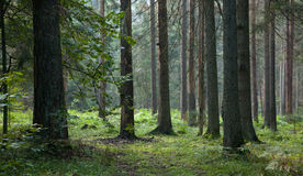 Early morning in the forest with spruces Stock Photography