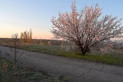 Early morning in the forest-steppe with a flowering tree stock photos