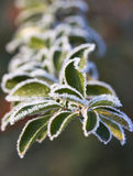 Early morning frost. On herbs Royalty Free Stock Image