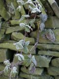 EARLY MORNING FROST ON BRAMBLES WALL. EARLY MORNING FROST ON BRAMBLES AND DRY STONE WALL IN GARDEN Stock Photo