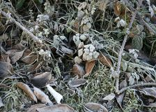 EARLY MORNING FROST ON DEAD AUTUMN LEAVES. AND TWIGS IN GARDEN Royalty Free Stock Images