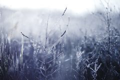 Early morning frozen hoarfrost plant in early autumn morning. Frosty plants in the garden, approaching winter time stock photography