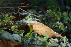 Early morning frozen leaf stock image