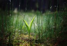 Early morning future Lily of the Valley stock photo
