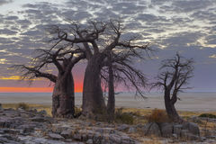 Early morning glow. At Kubu Island in Botswana Stock Photography
