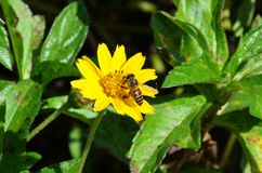 Honey Bee sips nectar from a small yellow wildflower in Krabi, Thailand stock photography