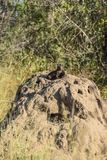 Dwarf mongoose on a ant hill royalty free stock image