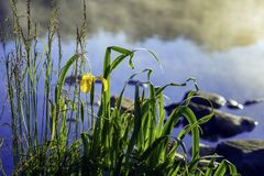 Early morning on lake with fog and golden iris, other swamp plants in natural foreground, dawn, first rays of sun Royalty Free Stock Photography