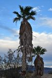 Early morning landscape view palm trees Mojave Desert, Pahrump, Nevada, USA royalty free stock photography