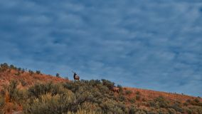 Elk grazing on a mountain ridge at Mammoth Hot Springs, Yellowstone National Park stock photos