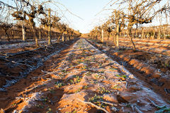 Early Morning Light on Frosted Ground in Vineyard. Stock Photo