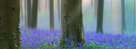 Early morning light spring forest with violet blue bells in the foggy mist stock photos