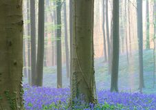 Early morning light spring forest with violet blue bells in the foggy mist royalty free stock photos
