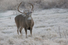 Early morning Lip curl displayed by massive heavy racked whitetail buck Royalty Free Stock Image