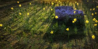 Sunlit Daffodils the Welsh national flower royalty free stock photography