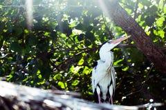 Early morning on maldives island. tropical fauna. Gray Heron or Ardea Cinerea on relaxing sun beams. South Male Atoll, Maldives Stock Photo