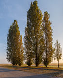 Early morning at meadow, poplar trees alley. At horizon. Sun rays stripped in long grass stalks. Sunrise Landscape Royalty Free Stock Photos