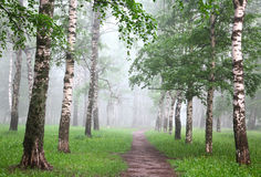 Early morning in mist birch grove Stock Photo