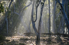 Early morning mist forest,  Australia. Royalty Free Stock Photo