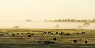 Morning mist in the pasture of the farm Royalty Free Stock Photography