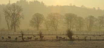 Mist and Sheep Grasmere Royalty Free Stock Images