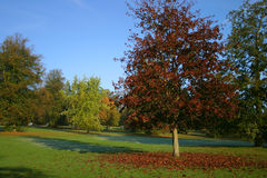 Early Morning In The Park. Early morning autumn in the park and a copper beech tree sheds its leaves on the ground Royalty Free Stock Image