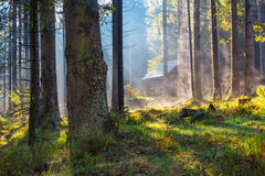 Early morning pine forest Royalty Free Stock Photos