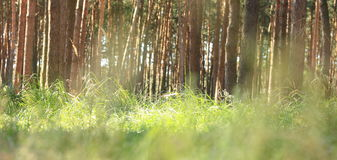 Early morning in pine forest. Indian summer in coniferous forest in sunny weather in morning. Stock Images