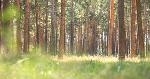 Early morning in pine forest. Indian summer in coniferous forest in sunny weather in morning. Royalty Free Stock Images