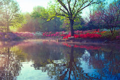 Early morning on the pond. Two geese on a calm pond surrounded by blooming azaleas stock image