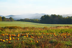Early morning on a pumpkin patch Stock Image