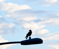 Early Morning Raven On Light Royalty Free Stock Images