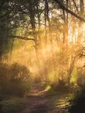 Early morning rays of sun shine through the trees and mist onto royalty free stock images
