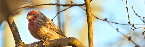 Early Morning Red Breasted House Finch Resting on a Branch Royalty Free Stock Photos