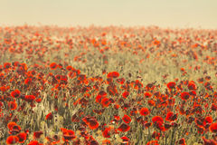Early morning red poppy field landscape Royalty Free Stock Photo