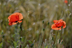 Early morning red poppy field scene Stock Images