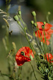 Early morning red poppy field scene Royalty Free Stock Image