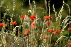 Early morning red poppy field scene Stock Photography
