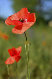 Early morning red poppy field scene, nature Stock Images