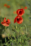 Early morning red poppy field scene, nature Royalty Free Stock Image