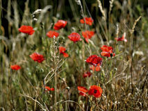 Early morning red poppy field scene, nature Stock Photos